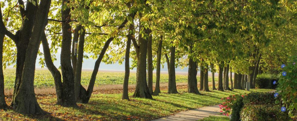 Tree lined walking path